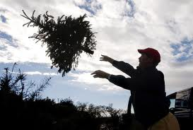 Christmas Tree Pick-Up – Actual Facts
