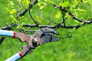 Transition to Offer Fruit Tree Pruning Demo