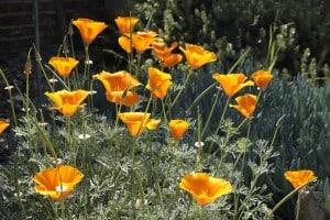 California Natives – Drought Tolerant Gardens