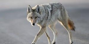 Coyote walking close