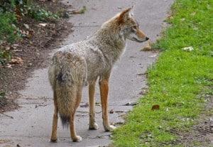 urban-coyote1