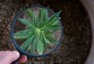 marijuana-web-optimized_original